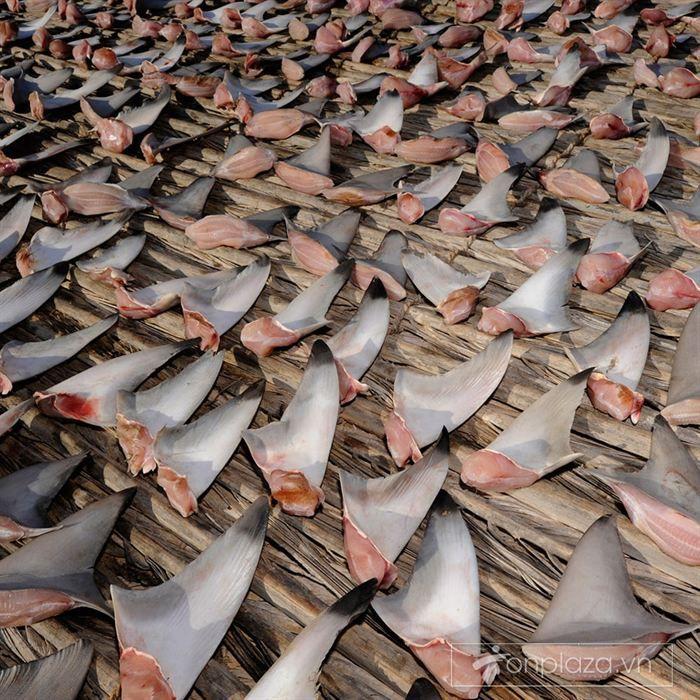 Vi cá mập cước bông loại 1 hộp 50g VC010 1