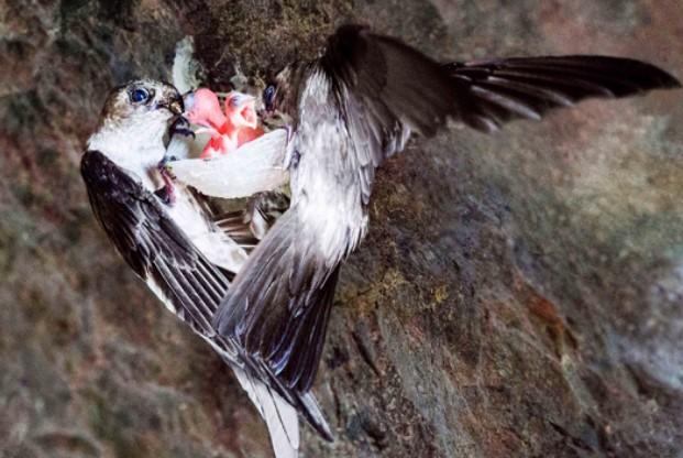 Gia đình chim yến cho nhau ăn